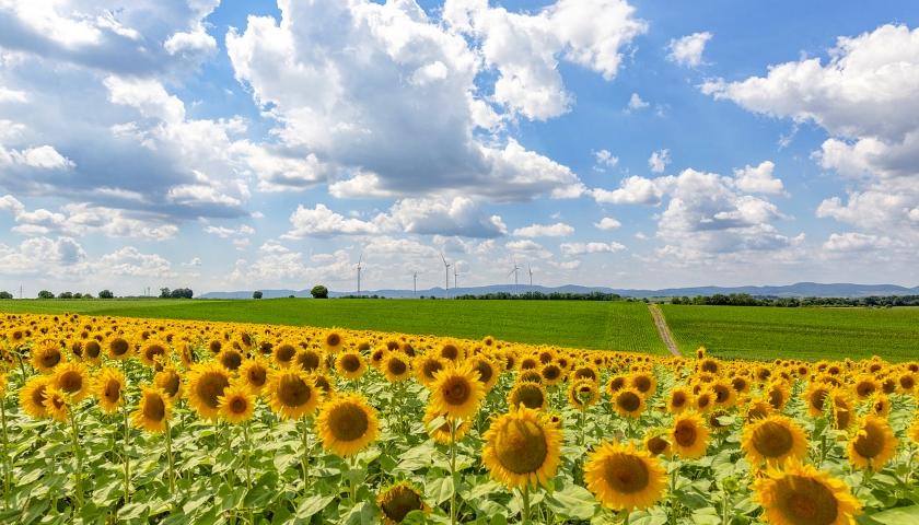 slunečnice pole